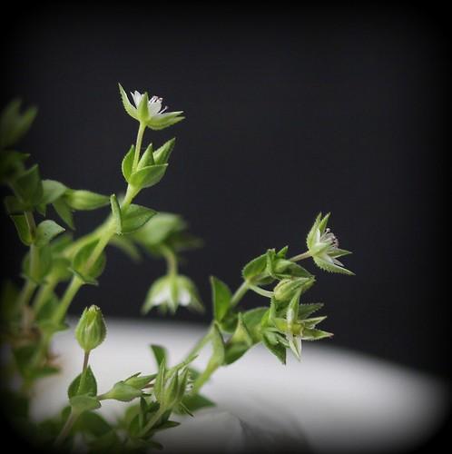 Arenaria serpyllifolia - sabline à feuille de serpollet 48020135422_84d65c2cf2