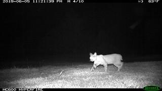 Lynx rufus (Bobcat); 6/5/2019; 11:21pm