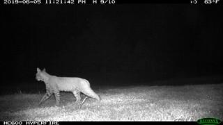 Lynx rufus (Bobcat); 6/5/2019; 11:20pm