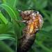 17 Year Cicada Emerging 1