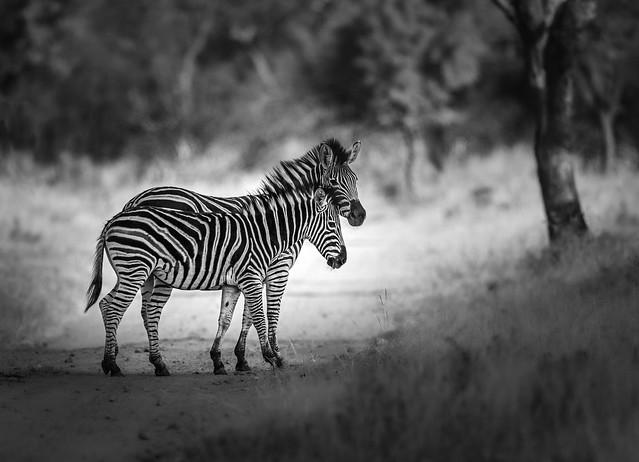 Zebra(s) Crossing - Explored