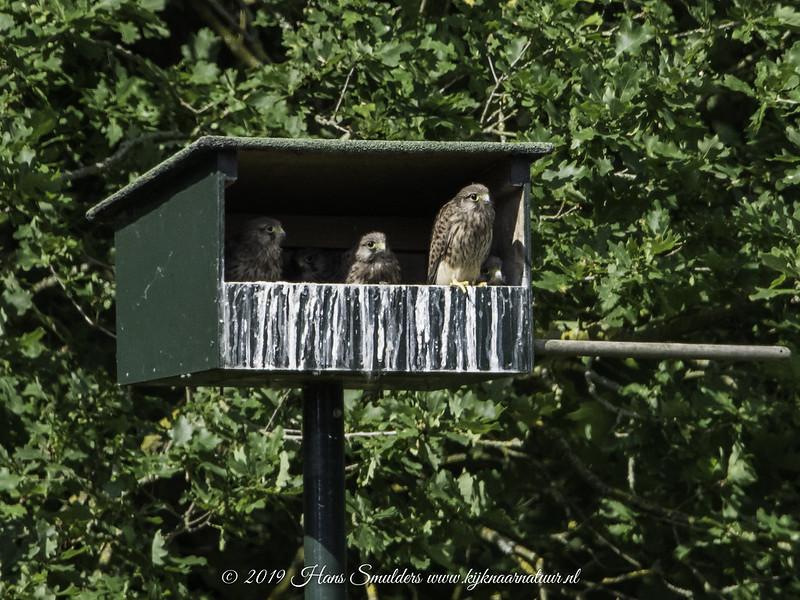 Torenvalk (Falco tinnunculus)-819_2293