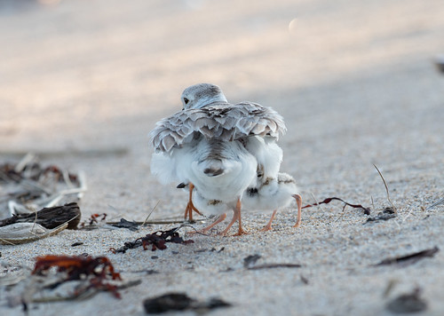 Piping Plover adult with chicks