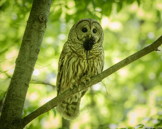 Barred Owl with mouse