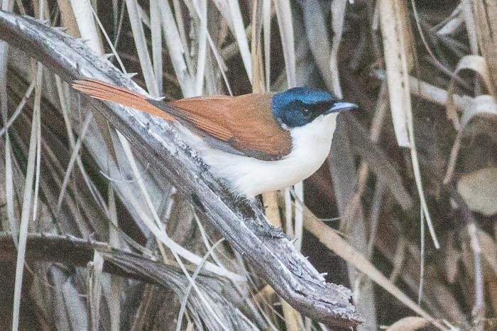 Shining Flycatcher  - female