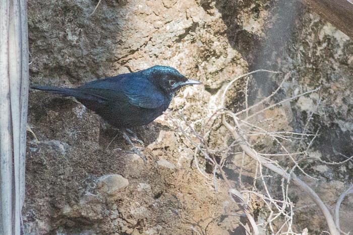 Shining Flycatcher  - male