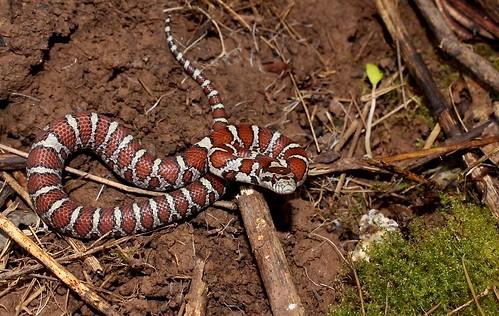 Eastern Milk Snake (juvenile), Central Bucks County, PA, J ...