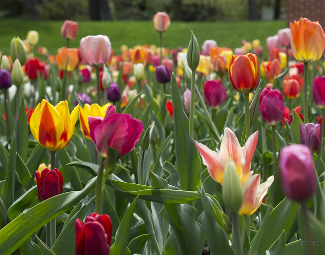 Tulips_BDMCart1