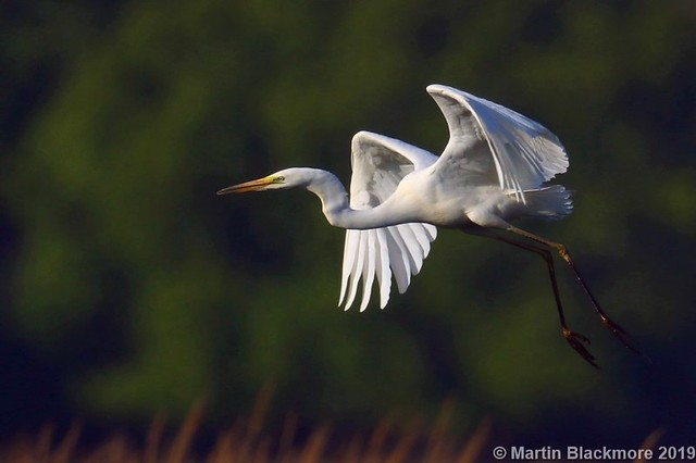 Great White Egret in flight I39634