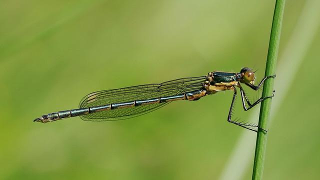 Emerald Damsilfly - Immature (m). Lestes sponsa