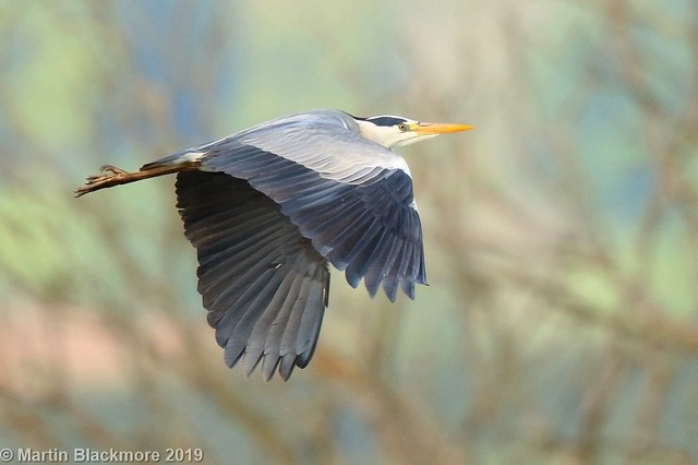 Grey Heron in flight I38255