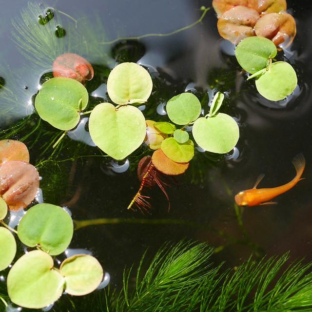 1080x1080 Mini Pond 20190608