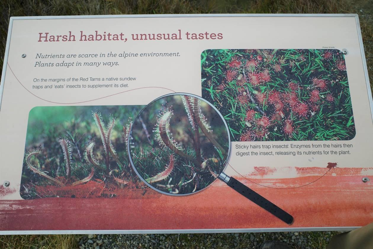レッドターントラック 食虫植物