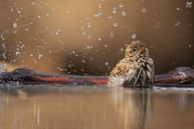 Pardal-comum, House sparrow(Passer domesticus)