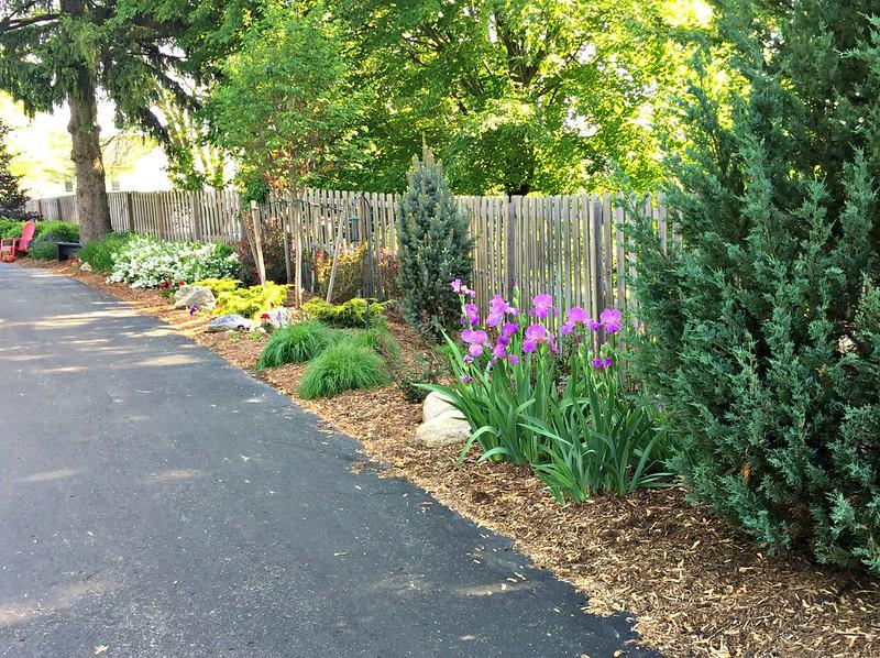 iris perennials for sun