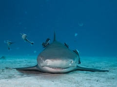 Lemon Shark At Rest