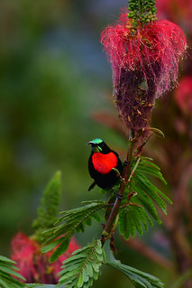 Scarlet-chested sunbird (Chalcomitra senegalensis) | by supersky77