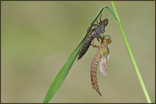 Hairy Dragonfly (image 3 of 5)