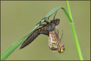 Hairy Dragonfly (image 1 of 5)