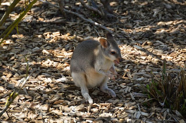 Dusky Pademelon Joey (Thylogale brunii)