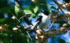 Collared Flycatcher (Ficedula albicollis)
