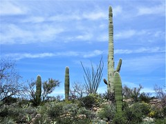 Saguaro National Park East 30 March  - 3