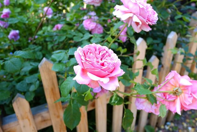 Goose Green Roses..