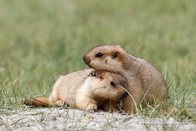 Himalayan young marmots