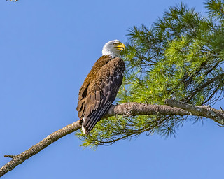 Adult Bald Eagle | by wplynn