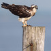 Osprey of the Jersey Shore | 2019 - 12