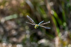 Male Blue Emperor Dragonfly | Anax imperator