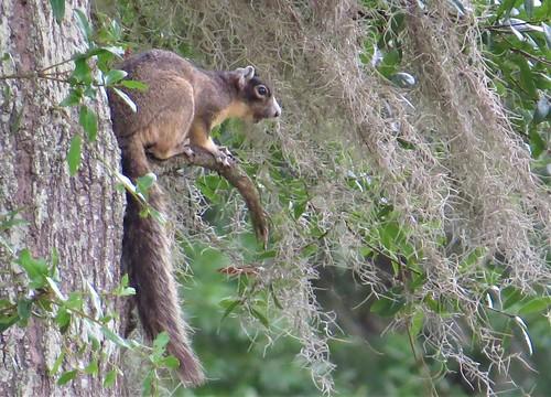 sciurusniger foxsquirrel newberrycemetery