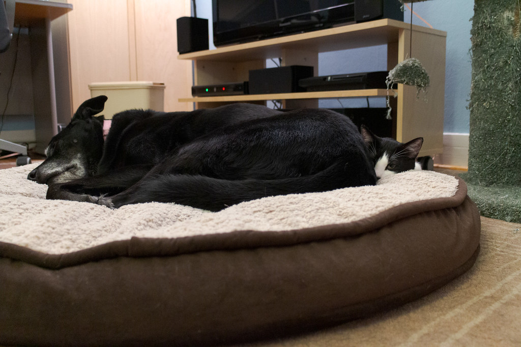 A side view of our young black-and-white cat snuggling up against our black lab Ellie as she slept on her dog bed in October 2013