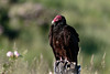 Turkey Vulture (Cathartes aura) by Brown Acres Mark