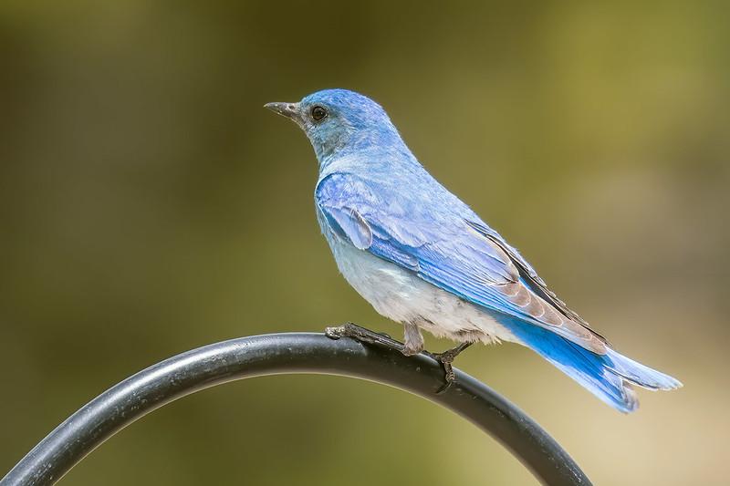 Mountain-Bluebird-5-7D2-060519