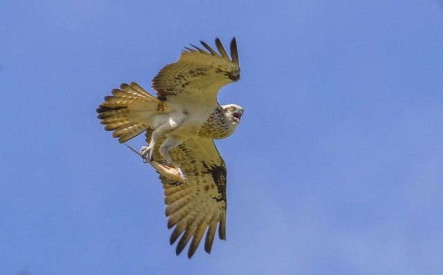 a warning to the photographer - eastern osprey