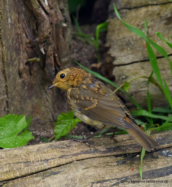 DSC_3424 - Juvenile Robin (Erithacus rubecula)