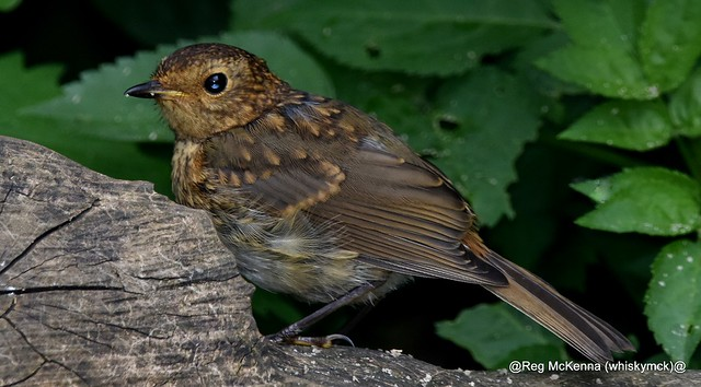 DSC_3435 - Juvenile Robin (Erithacus rubecula)