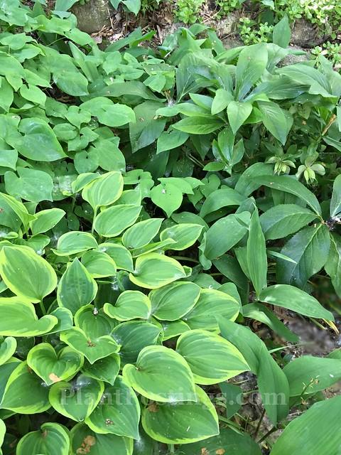 shade foliage
