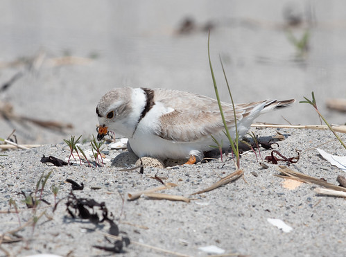Piping Plover settling down on eggs