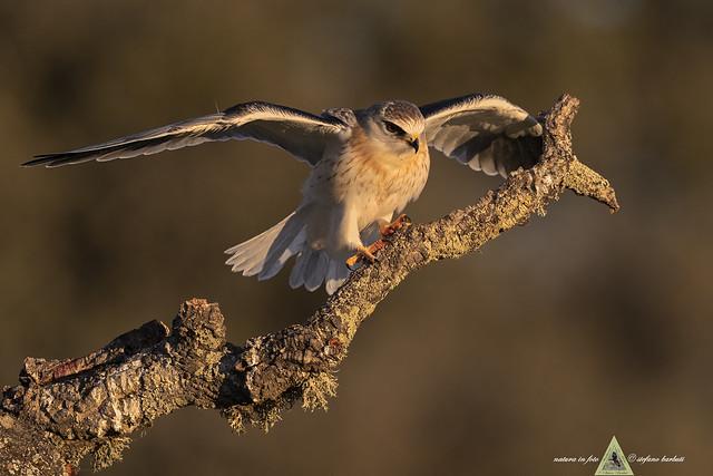 Nibbio bianco - Elanus caeruleus - La calda luce dell'alba.