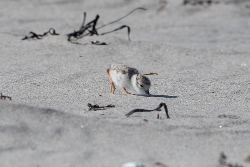 Piping Plover chick figuring out food