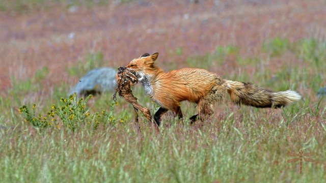 red fox vixen with fawn for breakfast . . .