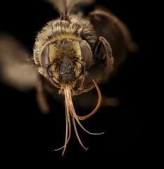 Apidae melitoma, f, face, Bagaces, CR_2018-11-16-15.27.53 ZS PMax UDR