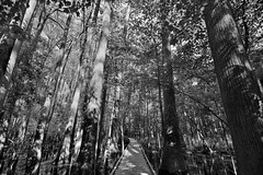 The Boardwalk Loop with Tall Cypress Trees All Around (Black & White, Congaree National Park)