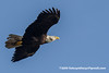 Bald Eagle (Haliaeetus leucocephalus), adult female DSC_7904 by fotosynthesys