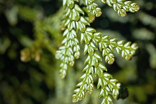False Cypress Leaves