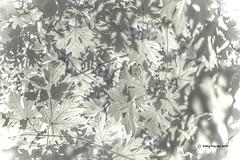 Leaves 9664