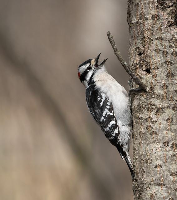 Pic mineur // Downy Woodpecker