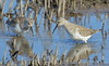 Curlew Sandpiper Calidris ferruginea